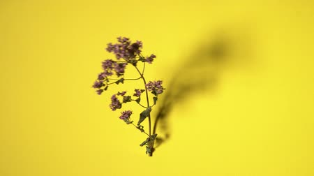 kakukkfű : Dried oregano branch rotating on yellow background. Seamless loop. Stock mozgókép