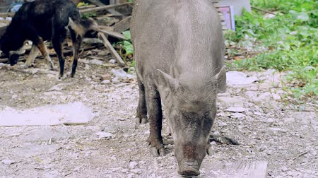 feeding ground : A large female boar is eating the food that humans have brought.