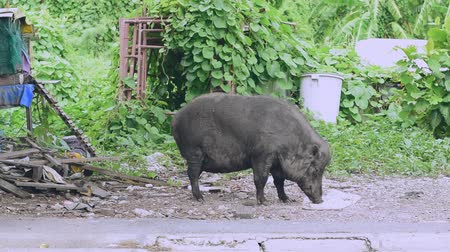 everzwijn : A large female boar is eating the food that humans have brought.