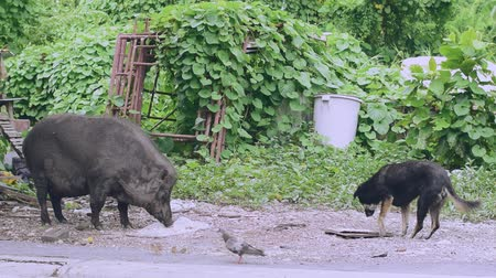 feeding ground : A large female wild boar and a dog are eating the food that humans have brought as food. Stock Footage