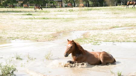 прокатка : Horse rolling on water and shaking water.