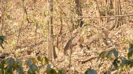 jelen : Elds deer in forest at Non-hunting area,Chiang - mai Thailand.