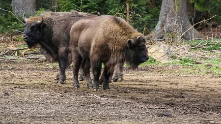 europeu : wild European bison or Wisent (Bison bonasus) in autumn