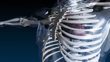 csontváz : Medical Animation of a Skeleton with heart beating and ribs showing  Stock mozgókép