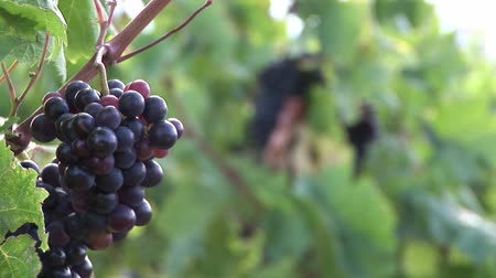 winnica : Bunch of Grapes on a Vine Ready for Harvesting