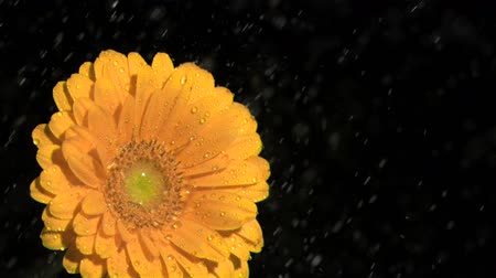 pétalas : Orange gerbera daisy in super slow motion being soaked against a black background