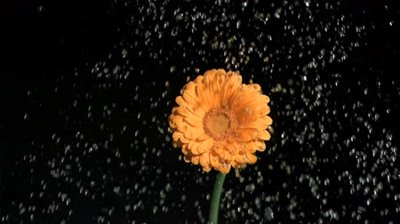 pétalas : Drops of fresh water in super slow motion watering a flower against a black background Vídeos