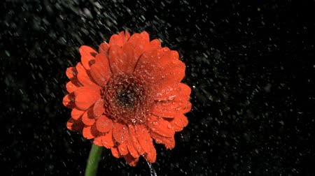 pétalas : Rain falling in super slow motion on gerbera against black background