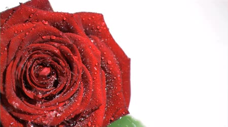 pétalas : Red rose in super slow motion being soaked against a white background