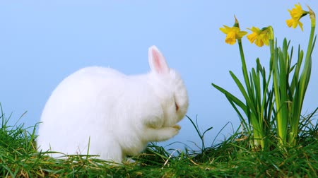 coelho : White cute bunny scratching his nose next to daffodils in slow motion Vídeos