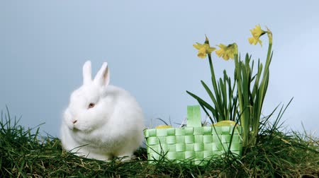 coelho : Basket of easter eggs falling next to a fluffy bunny over grass and daffodils in slow motion