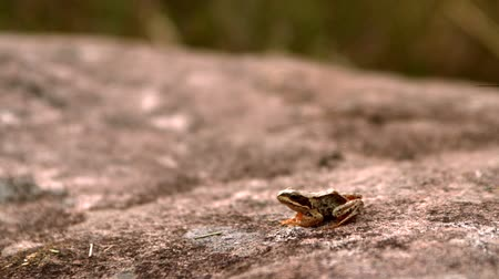 leaping : Frog jumping off a stone in slow motion Stock Footage