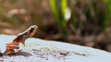 žába : Frog jumping off a rock in slow motion