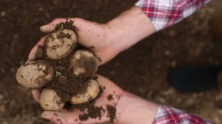 self sufficiency : Close up on potatoes being harvested from the ground