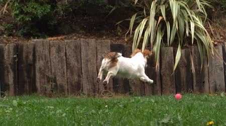 веселье : Dog chasing a ball in the garden in slow motion