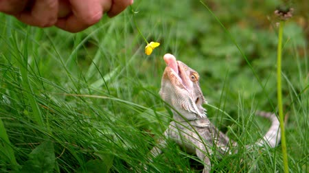 ящерица : Lizard eating a buttercup flower in slow motion