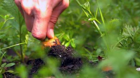 self sufficiency : Hand pulling a carrot from the soil in slow motion