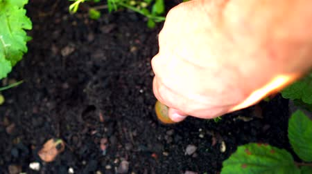 self sufficiency : Hand pulling a fresh carrot from the soil in slow motion