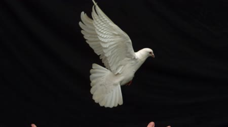 uçan : Hands releasing a white dove of peace on black background in slow motion