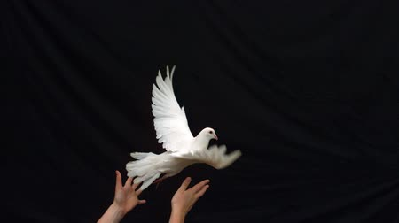 uçan : Hands releasing a white dove on black background in slow motion
