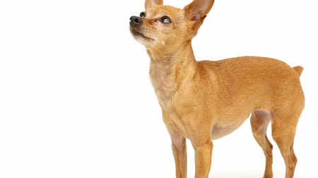 at kuyruğu : Chihuahua barking on white background Stok Video