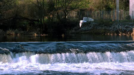 racek : Seagull flying over a waterfall in slow motion