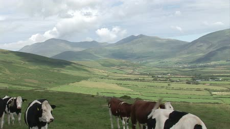 İrlanda : View of the Irish Countryside with Cows in the foreground.