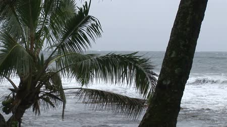 impending : A palm tree blows back and forth impending storm