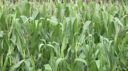 milharal : Stock Video Footage of a Corn Field Stock Footage