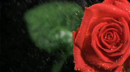 pétalas : Water dripping in super slow motion on a rose against black background Vídeos