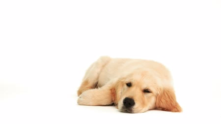 Cute puppy lying down on a white background