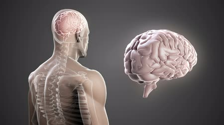 anatomia : Digital animation of Revolving body with visible brain and skeleton
