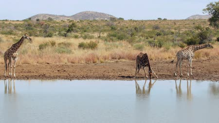 içme : Giraffes walking to the water in high quality