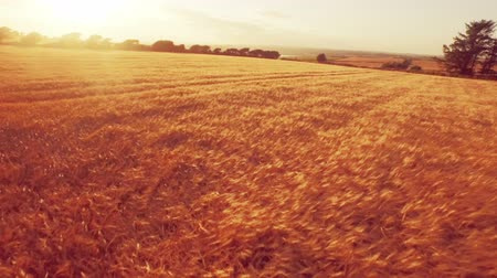 dron : Drone footage of golden fields during sunset