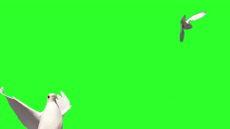 gołąbki : Dove flying on green screen background in slow motion Wideo
