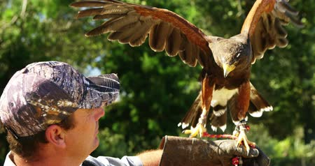 accipitridae : Falcon eagle perching on mans hand on a sunny day Stock Footage