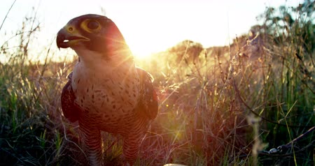 accipitridae : Falcon eagle perching in a grassland on a sunny day Stock Footage