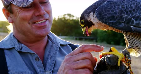 accipitridae : Man feeding falcon eagle on his hand on a sunny day