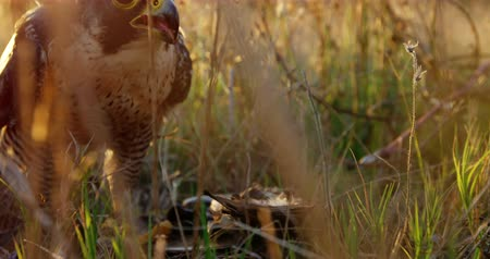 accipitridae : Falcon eagle eating meat on a sunny day Stock Footage