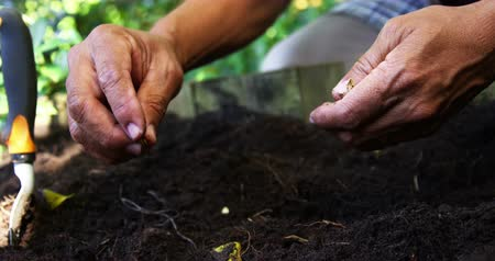 black dirt : Senior man planting seeds in the soil on a sunny day