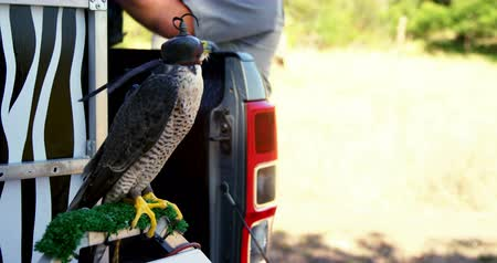 accipitridae : Falcon perching on a falcon scrape in the car Stock Footage