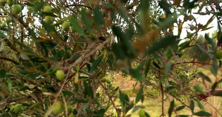 oliva : Man observing olive on plant in farm 4k