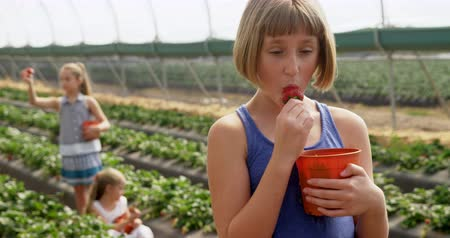 truskawki : Girl eating strawberry in the farm at greenhouse 4k