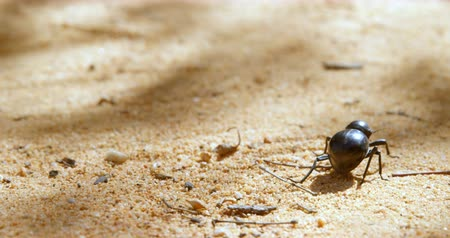 owady : Close-up of beetle crawling on sand 4k Wideo
