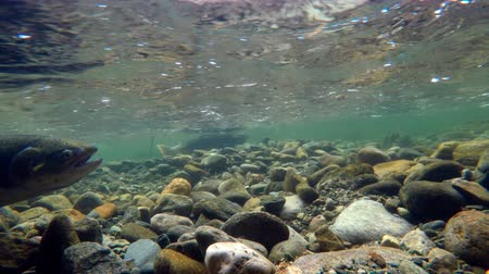 pisztráng : Close-up of fish swimming under mountain river 4k Stock mozgókép