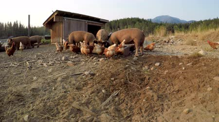 aliment : Pigs and hen having food in the farm on a sunny day 4k Stock Footage