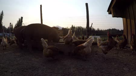 świnia : Pigs and hen having food in the farm on a sunny day 4k Wideo