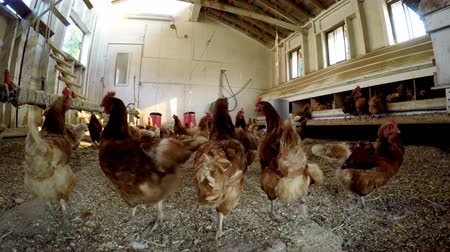 aliment : Hen grazing in the chicken coop at farm 4k