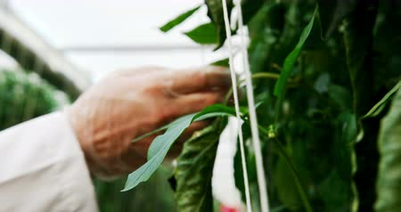 değerlendirme : Close-up of scientist examining plants in the greenhouse 4k