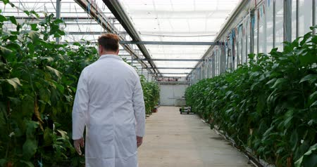 gözlem : Male scientist examining aubergine in greenhouse 4k